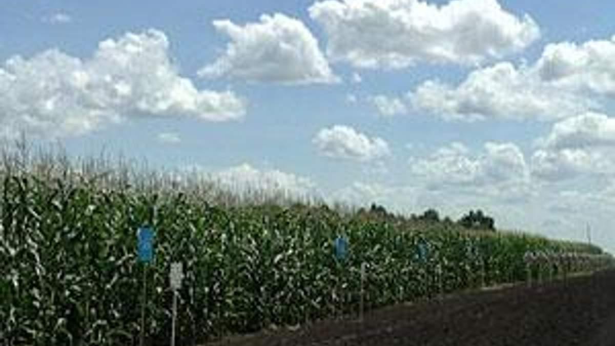 Українська кукурудза пробилася на найбільший у світі ринок – китайський