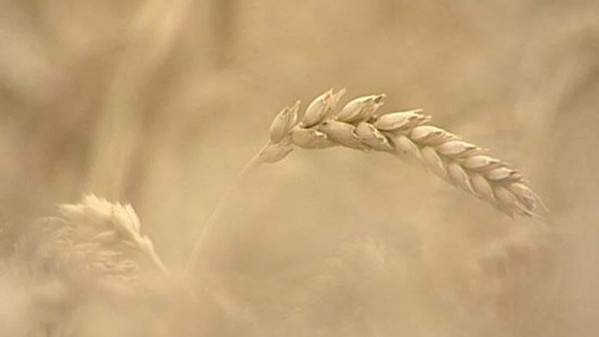 Стоимость пшеницы в Украине достигла годового максимума