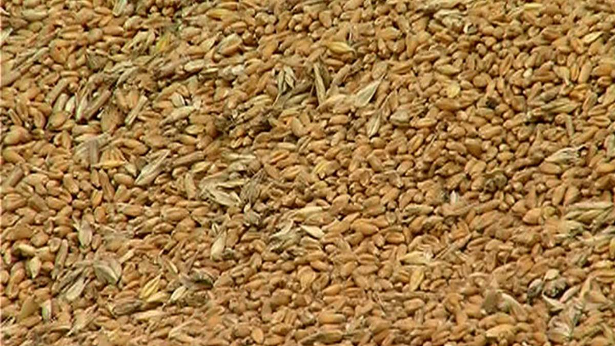 Минагропрод прогнозирует подорожание зерна