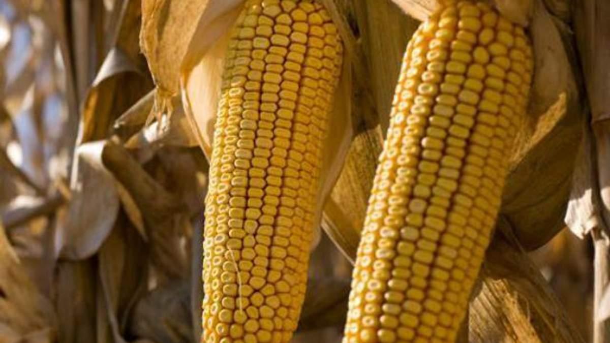 Японцам нужна украинская кукуруза