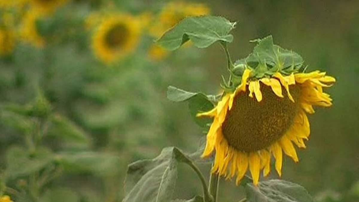 Цього року врожай соняшника знизиться на 14%