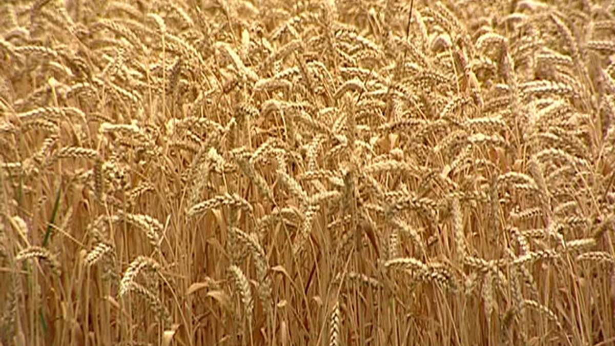 Експерт: Аграрії можуть перестати сіяти зернові через дорогу оренду