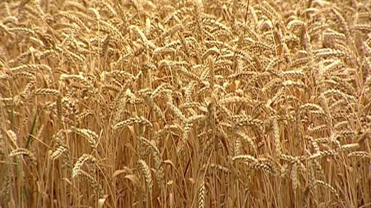 Эксперт: Аграрии могут прекратить сеять зерновые из-за дорогой аренды