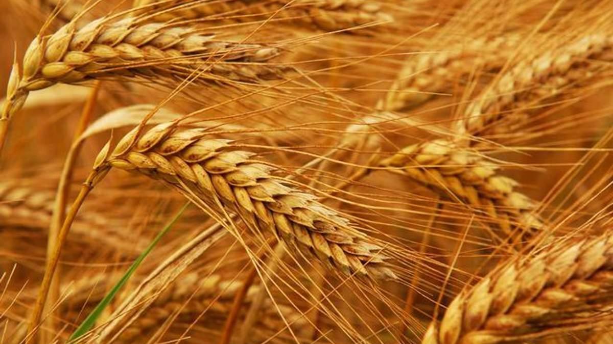 Через месяц может закончиться пшеница на экспорт