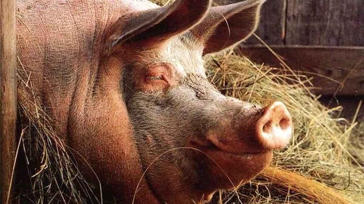 Госагентство резерва хочет приобрести тушенку из свиней, больных африканской чумой