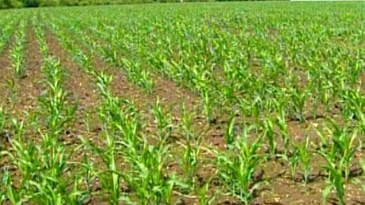 Потеря урожая риса в Крыму не отразится на ценах в Украине