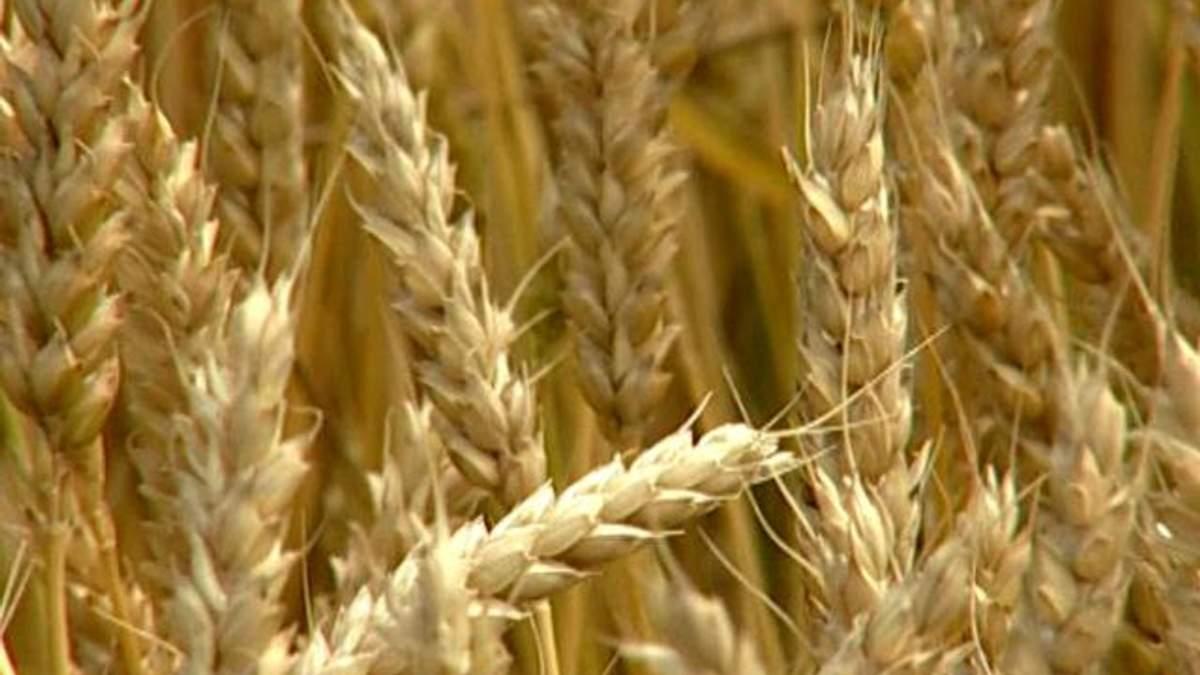 Україна у цьому році збере 60 млн тонн зернових