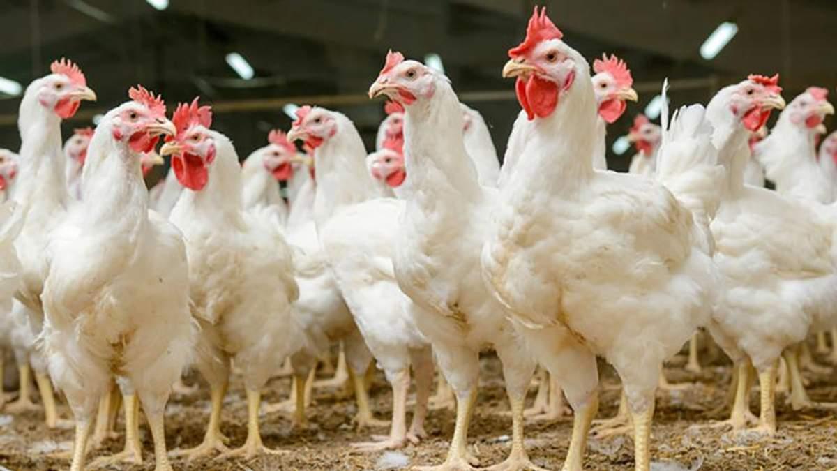 Украина начнет поставлять курятину в Сингапур