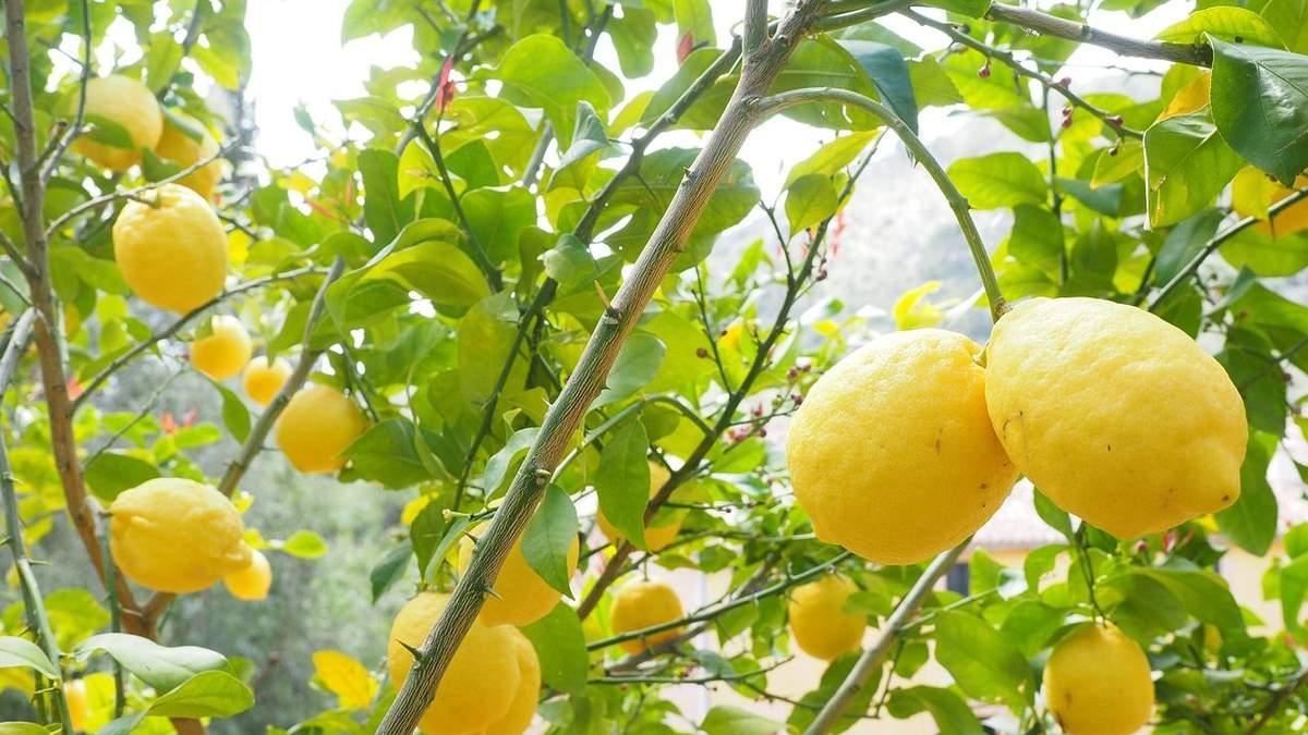 Чи зникнуть лимони з магазинів України – що відомо