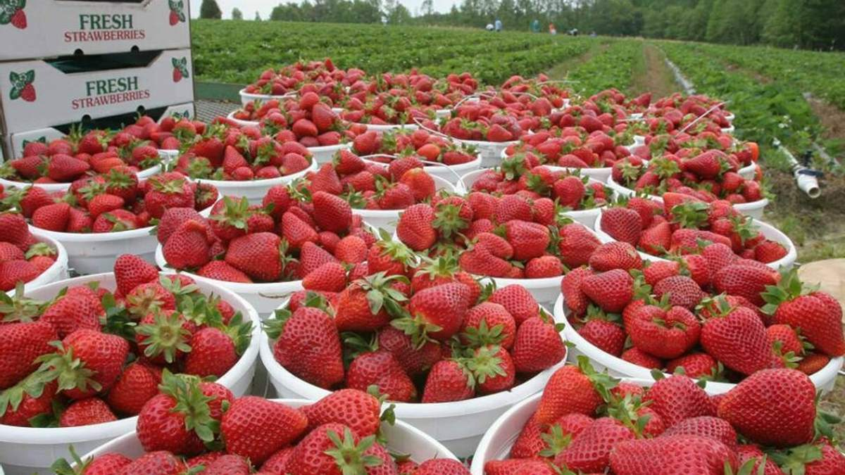 До 200 українців полетіли чартером у Фінляндію збирати полуницю